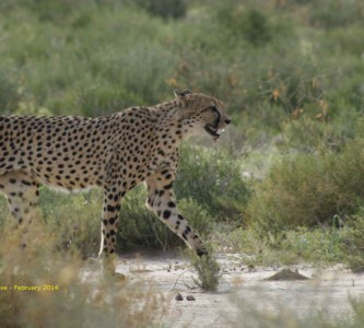 Cheetah in the Kgalagadi National Park - South Africa. Photo by Ian Dove.